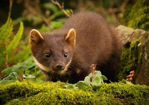 FOXY-FACED: The pine marten hunts mammals and birds