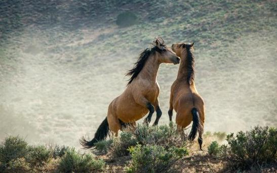 Wild horses, or mustang, in Planet Earth II Credit: BBC