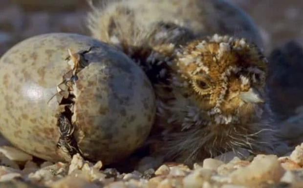 A sand grouse chick: Planet Earth II Credit: BBC