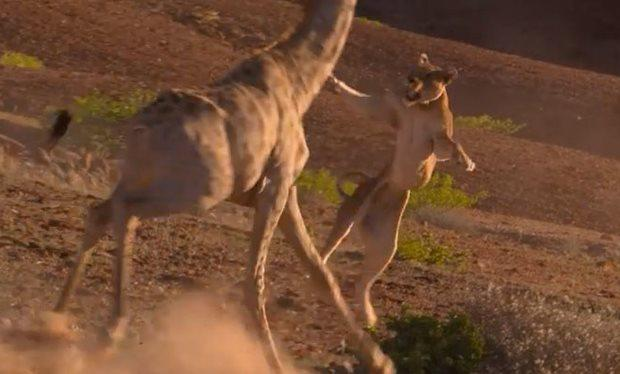 A lioness and a giraffe go head-to-head. Pic: Planet Earth 2