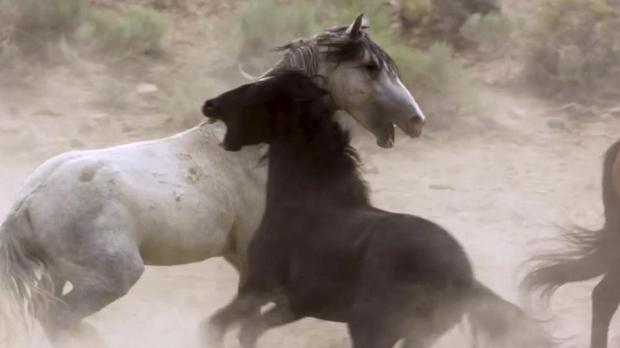 Wild horses battle for the watering hole and their pick of females. Pic: Planet Earth 2