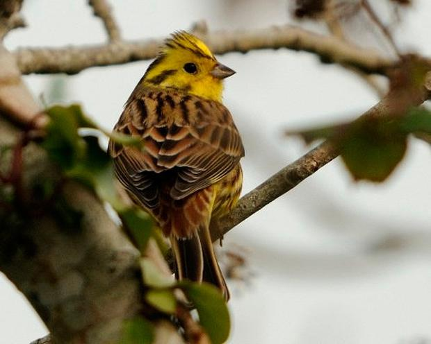The Yellowhammer is one of the birds that conservationists claim will be wiped out by extended hedge cutting