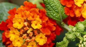 Lantana is beautiful inside or outside Picture: Anna Yu