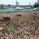 Tree stumps at Estuary Roundabout, Swords where 64 trees were cut down by the council. Photo: Tony Gavin