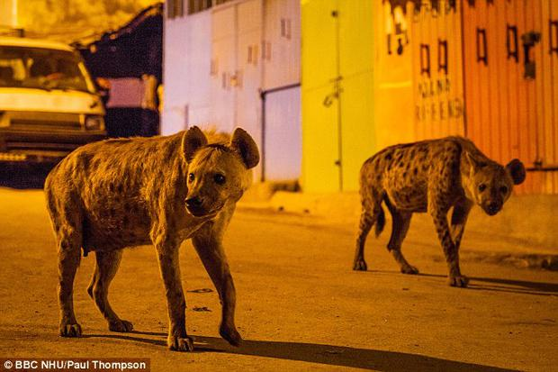 Spotted hyenas prowl the streets of Harar. Pic: BBC Planet Earth II