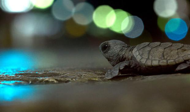 The Hawksbill baby turtles in Planet Earth II. Pic: BBC
