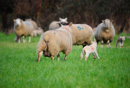Ewes with lambs had to be fed meal in April. Stock photo