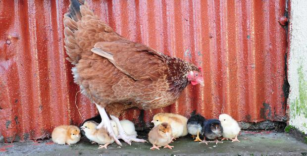Marmalade with some of her new chicks. Picture: James Flynn/APX
