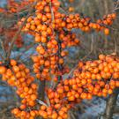 BRIGHT: Sea buckthorn