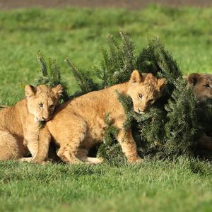 Lion cubs at Blair Drummond Safari Park near Stirling explore Christmas trees left over from the attraction's annual sale. Picture: Andrew Milligan/PA Wire