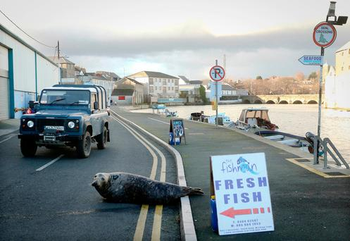Sammy the Seal, who is a regular attraction in Wicklow town, forgets it's New Year's Day and the fishmonger is closed Photo: Garry O'Neill