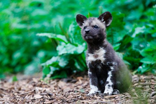 African painted dogs. For further information visit www.dublinzoo.ie and www.facebook.com/dublinzoo