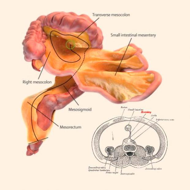 A digital representation of the small and large intestines and associated mesentery J Calvin Coffey, D Peter O'Leary, Henry Vandyke Carter