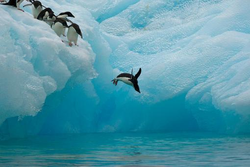 Undated handout photo issued by the WWF of Adelie penguins diving off an iceberg in Antarctica, as Adelie penguins target jellyfish with prominent gonads for a tasty meal, research from Antarctic