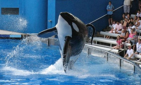 SeaWorld killer whale Tilikum performs during the show