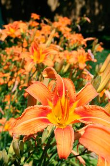 Lift and divide: Day lillies can be easily propagated