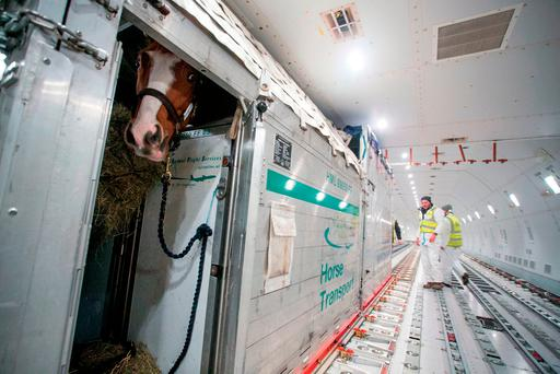One of the horses being transported on a Boeing 747 cargo plane from Shannon Airport to Beijing. Photo: PA