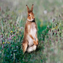 Alert: Hares are careful to disguise their trails back to their cosy nests