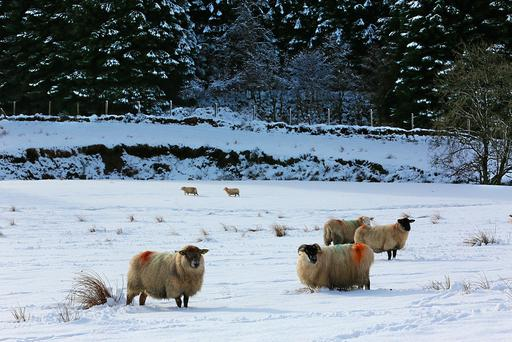 Sheep battle through the wintry conditions at Clonkeen, County Kerry. Photo: Valerie O'Sullivan