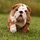 The ethics of breeding English Bulldogs has been called into question Photo: Getty