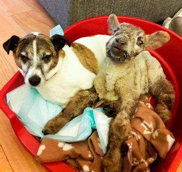 Tino the Jack Russell is pictured with Bowie the lamb. Tino looked after Bowie, who was blind, sleeping beside him and helping him find his way around