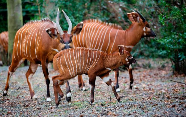 The young bongo calf with its mother in Dublin Zoo yesterday. Photo: Patrick Bolger Photography