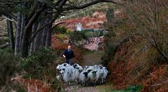 John Barton from Glenbeigh, County Kerry, rounding up his sheep after they went wandering. Photo:Valerie O'Sullivan