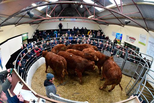 This lot of cattle weighed 720kg and made €1,700 each at Tullow Mart last week. Photo: Roger Jones
