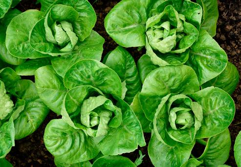 There has been a reduced supply of lettuce to Ireland