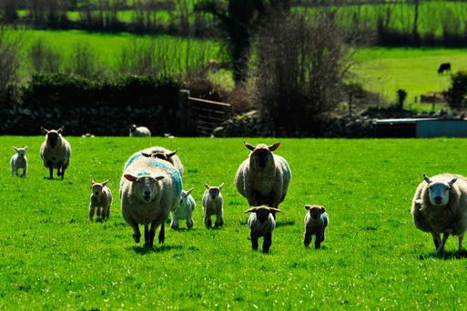 Previous studies at Athenry have shown that each 0.5kg in lamb birth weight increases subsequent weaning weight by around 1.7kg