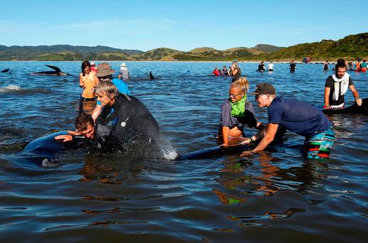 Volunteers try to guide some of the stranded pilot whales still alive back out to sea after one of the country's largest recorded mass whale strandings, in Golden Bay, at the top of New Zealand's South Island, February 11, 2017. REUTERS/Anthony Phelps