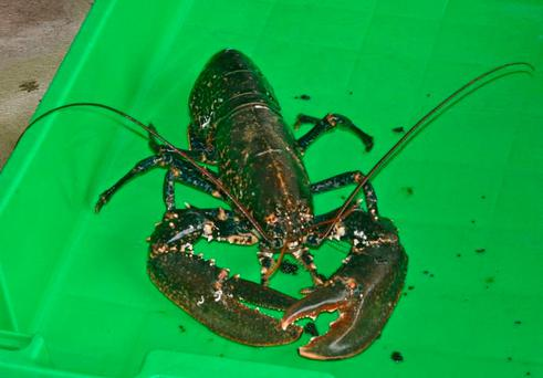 FISHY TALE: Catching lobsters could make a man very rich Photo by Marian O'Flaherty