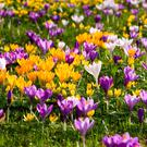 A carpet of colourful crocuses