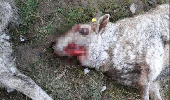 Recent Tipperary sheep attack left 20 sheep dead