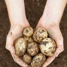 Fresh potatoes are the only major carbohydrate grown in Ireland