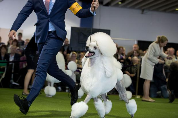 A Standard Poodle competes at the 141st Westminster Kennel Club Dog Show, February 13, 2017 in New York City.