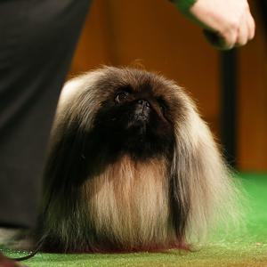 2012 Best in Show winner Malachy, a Pekingese, stands at the Annual Westminster Kennel Club Dog Show