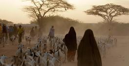 In this Sunday, July 10, 2011, file photo, Somali refugees lead their herds of goats home for the night, inside Dagahaley Camp, outside Dadaab, in Kenya. (AP Photo/Rebecca Blackwell, File)