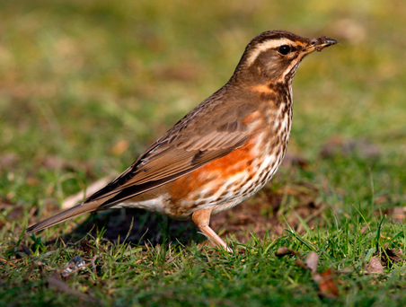Arrival: The redwing is the most common of our winter visitors from northern Europe Photo: Depositphotos