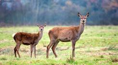File Photo deer and fawn
