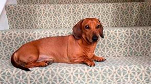 Brown miniature Dachshund named Boris who was missing with her owner Helen Bailey. Hertfordshire Police/PA Wire