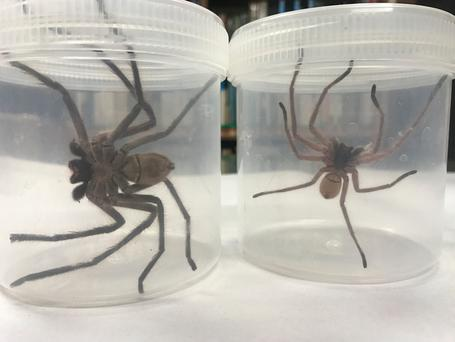 'Behemoth' beside a normal-sized huntsman spider. Photo: Lizzie Doyle