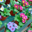 Colorful pots full of winter primroses