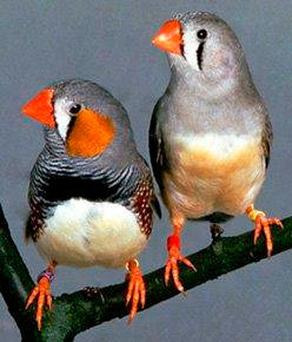 Preen me: A male and female of the tiny zebra finch breed