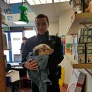 Ziggy the Piggy was discovered by gardaí on patrol in Greystones