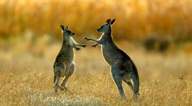 Two kangaroos in Australia. Credit: Reuters
