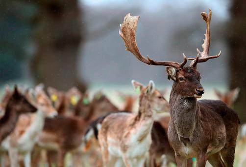 Fallow deer in Phoenix Park, Dublin. Photo: Brian Lawless/PA