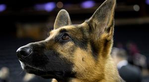 German Shepherd, stock image