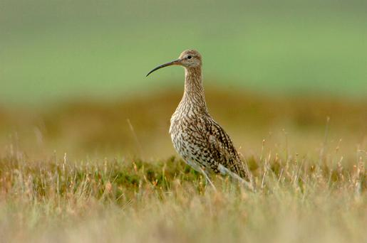 Endangered: A curlew