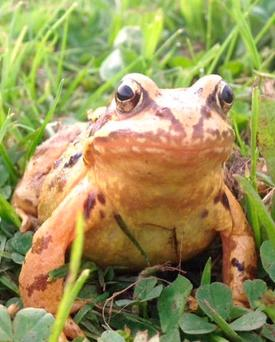 Springwatch: A common frog awaits a mate at a pond in Co Meath. Photo submitted by reader Paul Johnston